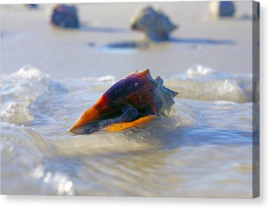 Fighting Conch On Beach Canvas Print