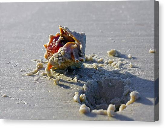 Fighting Conch On The Beach Canvas Print
