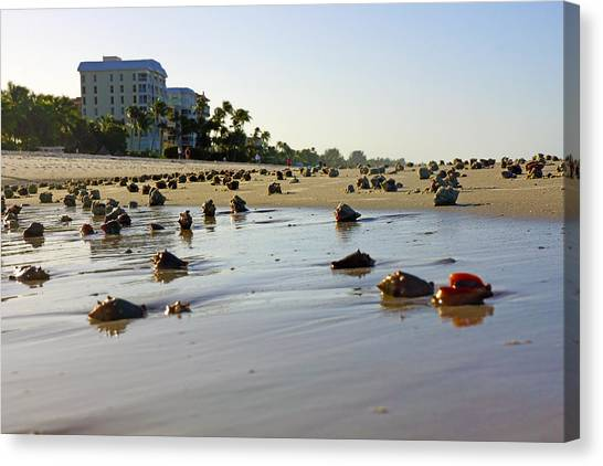 Fighting Conchs At Lowdermilk Park Beach In Naples, Fl  Canvas Print