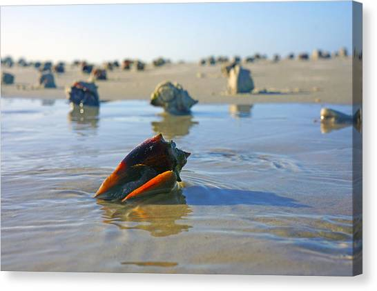 Fighting Conchs On The Sandbar Canvas Print