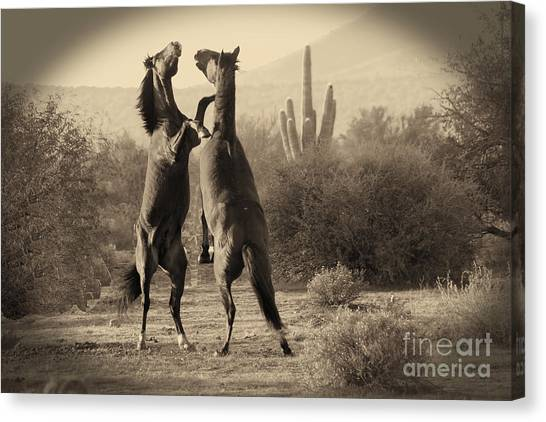 Fighting Stallions Canvas Print