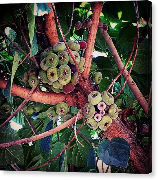 Fruit Trees Canvas Print - Figos-chilenos - Saudades - Santa by Kiko Lazlo Correia