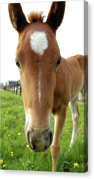 Filly Face Canvas Print