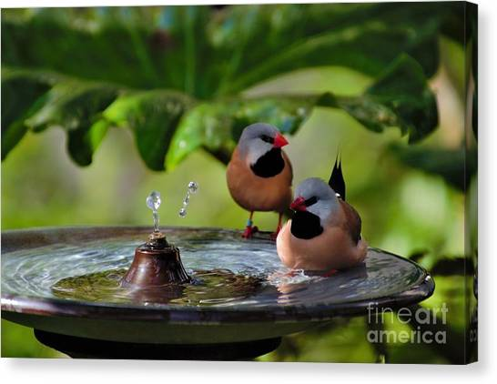 Finch Bath  Canvas Print