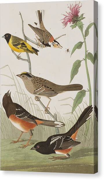 Finches Canvas Print - Finches by John James Audubon