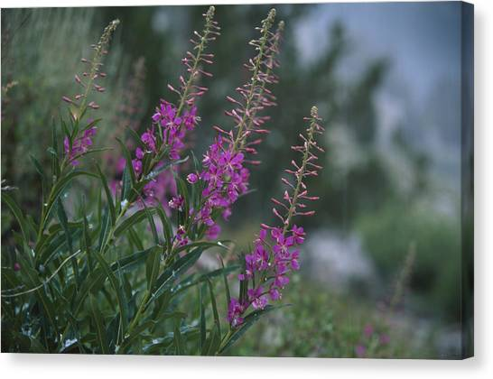 Hailstorms Canvas Print - Fireweed In Hailstorm by Soli Deo Gloria Wilderness And Wildlife Photography