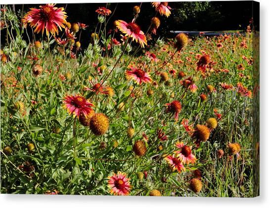 Firewheel Wildflower Canvas Print