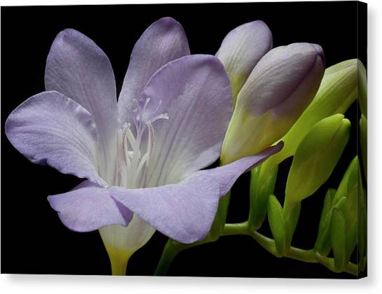 First Bloom Canvas Print by Terence Davis