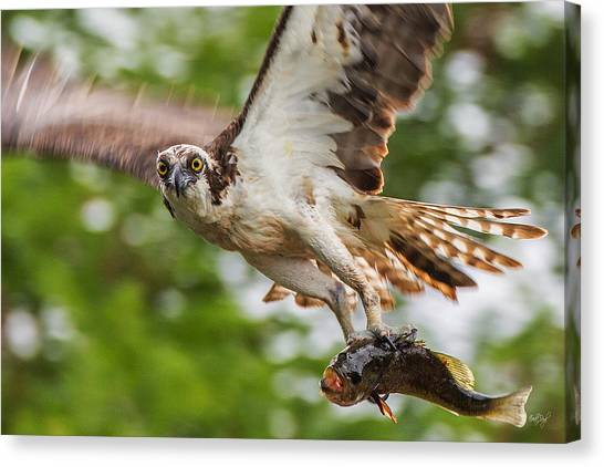 Osprey Canvas Print - First Flight Last Flight by Everet Regal