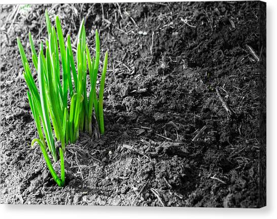 First Green Shoots Of Spring And Dirt Canvas Print