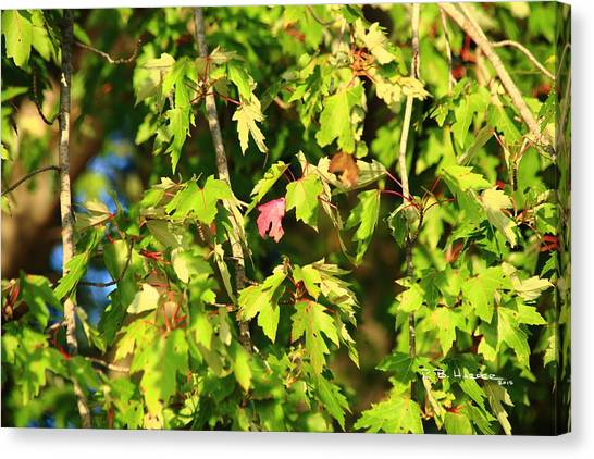 Canvas Print featuring the photograph First Leaf by R B Harper