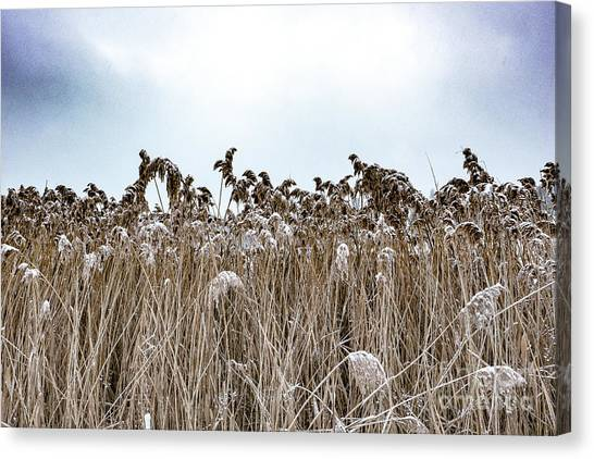 First Snow On Roman Reed Canvas Print