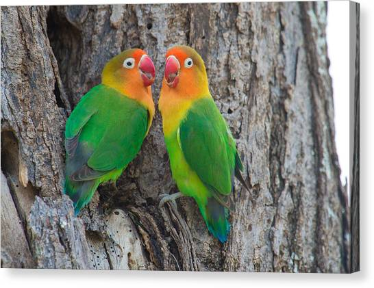 Lovebirds Canvas Print - Fischers Lovebird Agapornis Fischeri by Panoramic Images