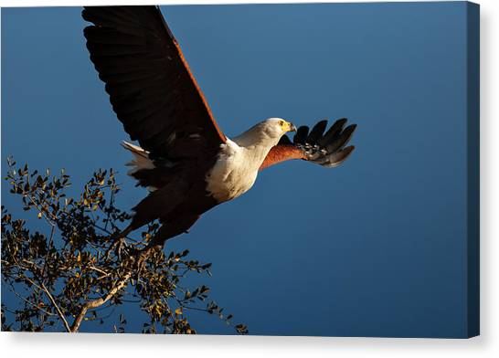 Large Birds Canvas Print - Fish Eagle Taking Flight by Johan Swanepoel
