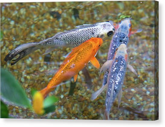 Canvas Print featuring the photograph Fish Fighting For Food by Raphael Lopez