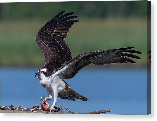 Fish For The Osprey Canvas Print