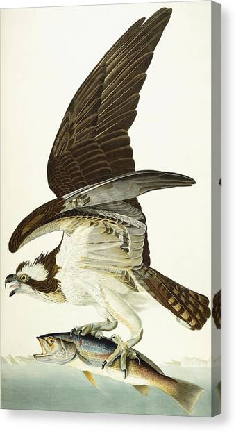 Osprey Canvas Print - Fish Hawk by John James Audubon