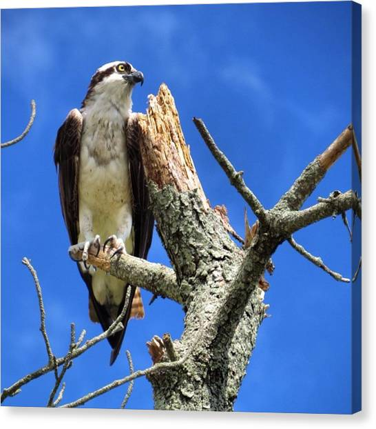 Osprey Canvas Print - Fish Hawk My Spirit Animal #perfect by John Repoza