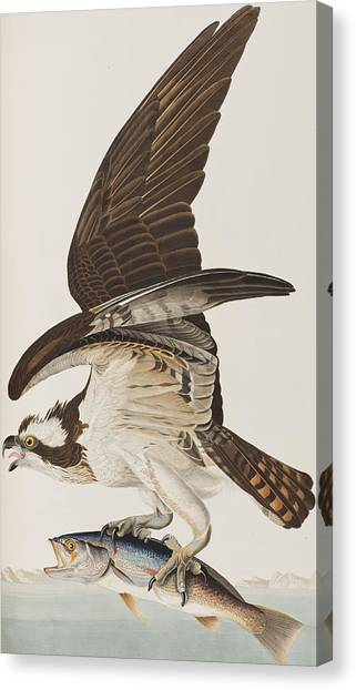 Osprey Canvas Print - Fish Hawk Or Osprey by John James Audubon