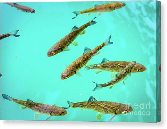 Fish School In Turquoise Lake - Plitvice Lakes National Park, Croatia Canvas Print