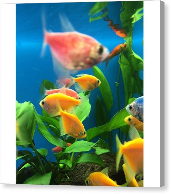 Fishing Canvas Print - Fish Tank With Colorful Fish by Juan Silva
