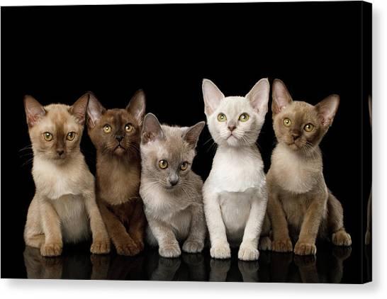 Five Burmese Kittens Canvas Print