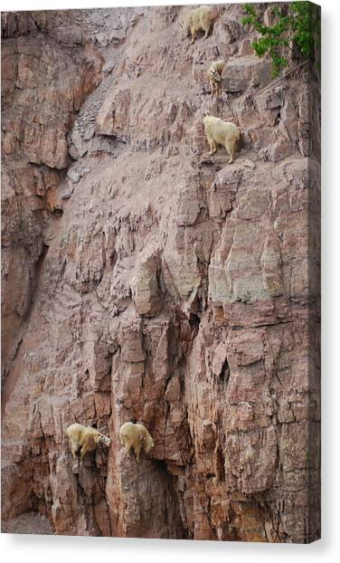 Five Goats Climbing Canvas Print