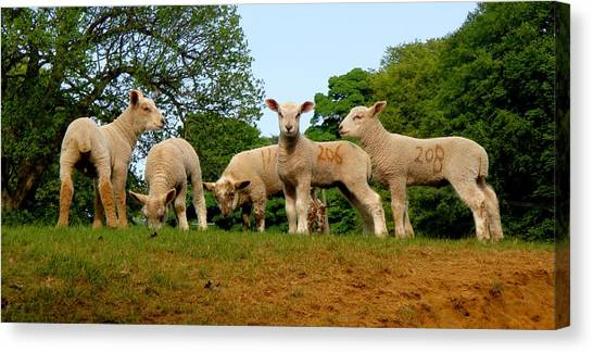 Five Little Lambs Canvas Print