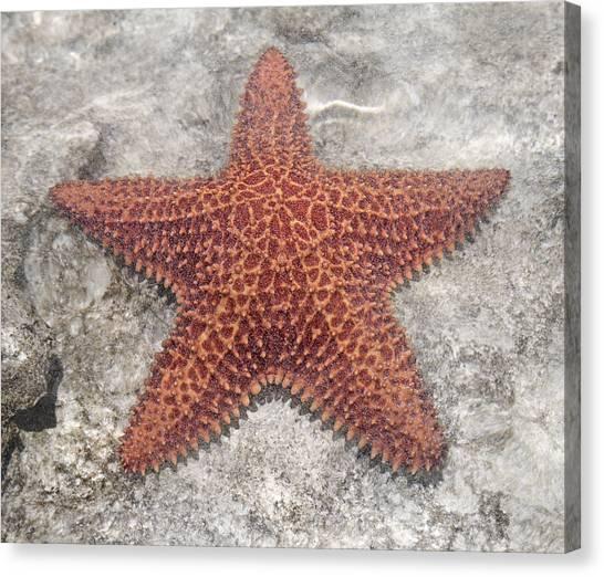 Carribbean Canvas Print - Five Star Fish by Betsy Knapp
