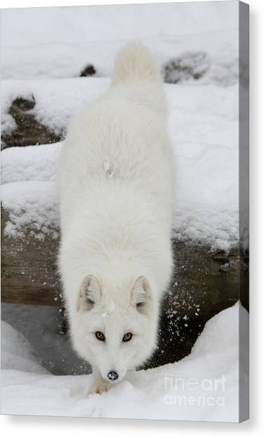 Arctic Wolf Canvas Print - Fixated by Heather King