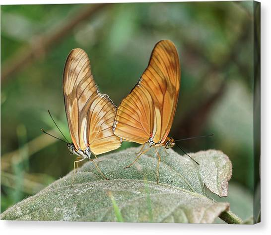 Canvas Print featuring the photograph Flambeau Butterfly - 2 by Paul Gulliver