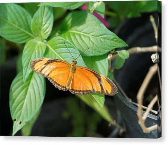 Canvas Print featuring the photograph Flambeau Butterfly by Paul Gulliver