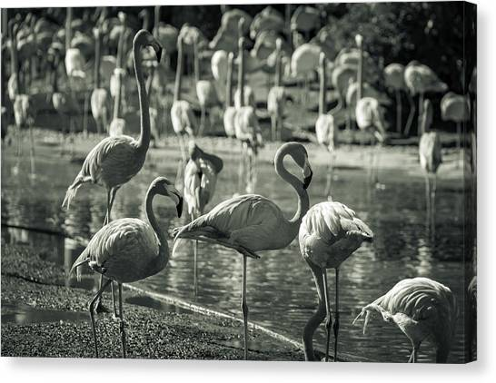 Flamboyance Of Flamingos Canvas Print