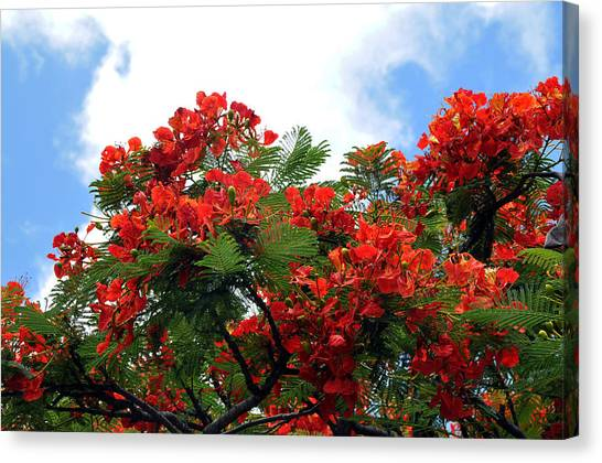 Flamboyant Red Flowering Tree Canvas Print by Lorrie Morrison