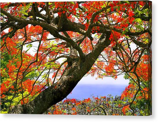 Flamboyant Trees- St Lucia Canvas Print