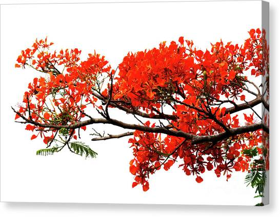Flamboyant Canvas Print
