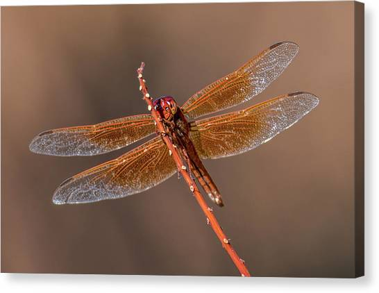 Canvas Print featuring the photograph Flame Skimmer Close Up by Dan McManus