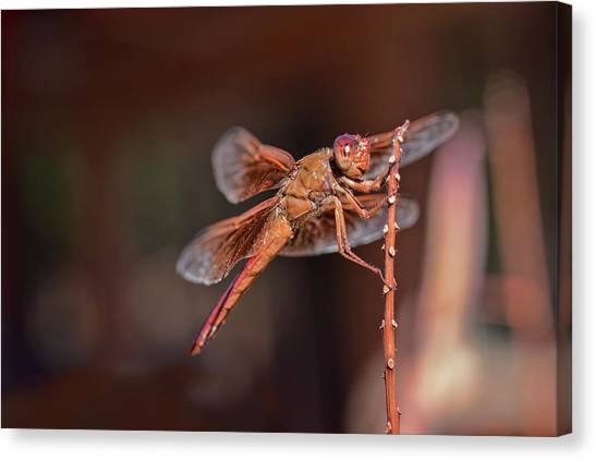 Canvas Print featuring the photograph Flame Skimmer by Dan McManus