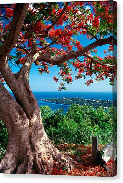 Flame Tree St Thomas Canvas Print