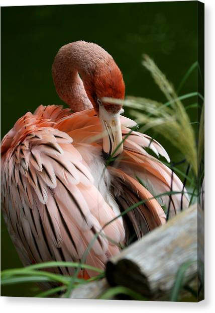 Flamingo Boudoir Canvas Print