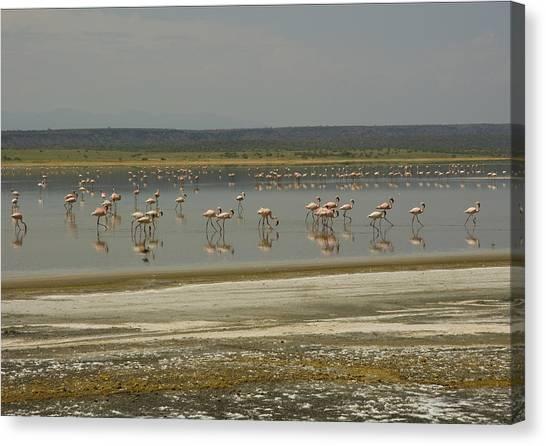 Flamingos Magadi Hot Springs Kenya Canvas Print