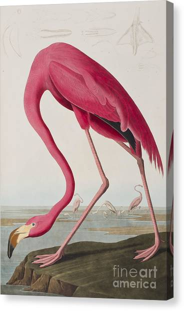 Flamingos Canvas Print - Flamingo by John James Audubon
