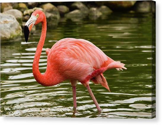 Flamingo Wades Canvas Print