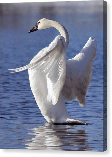 Flapping Swan Canvas Print