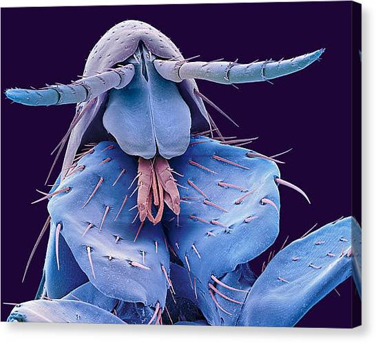 Fleas Canvas Print - Flea by Mariel Mcmeeking