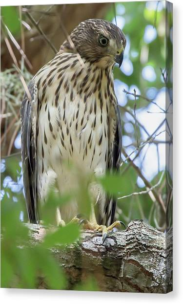 Fledgling Red-shouldered Hawk 2 Canvas Print
