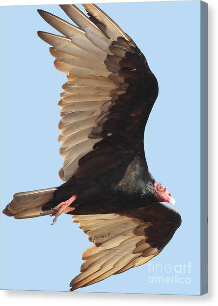 Undertaker Canvas Print - Flight Of A Vulture by Wingsdomain Art and Photography