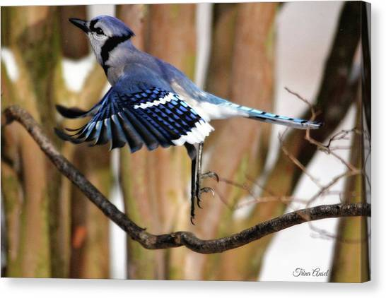 Flight Of The Blue Jay Canvas Print