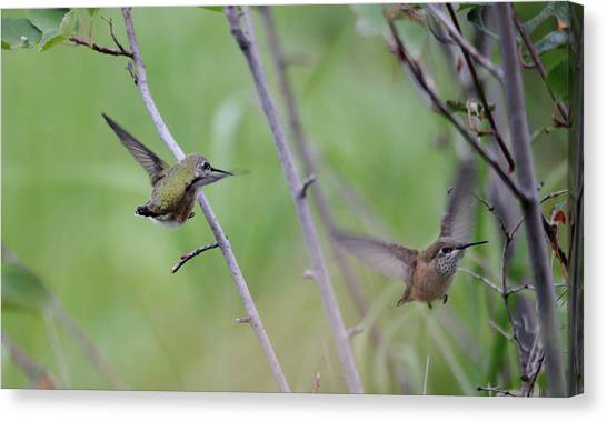 Selasphorus Canvas Print - Flight Of The Calliopes by Whispering Peaks Photography