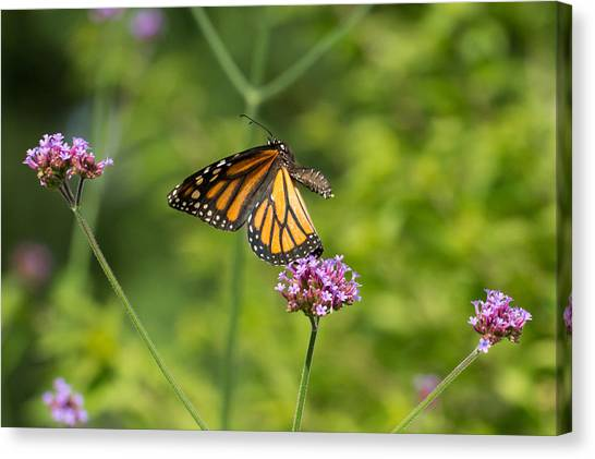 Flight Of The Monarch 1 Canvas Print